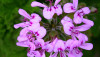 Is DMAA Natural? New Research Confirms in Geranium