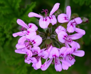 DMAA is Natural - It is found in this Chinese Geranium