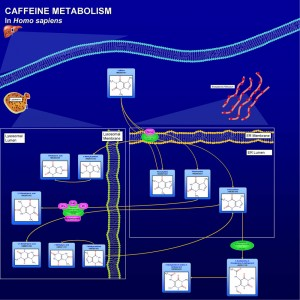 Weight Loss with Jack3d - How We Metabolize Caffeine